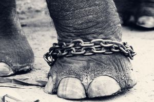https://en.wikipedia.org/wiki/File:Leg_of_a_chained_elephant.jpg