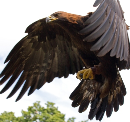 golden_eagle_in_flight_-_5